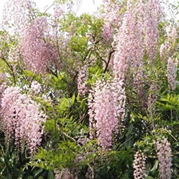 Amazon 5 Pink Ice Wisteria Seeds Vine Climbing Flower
