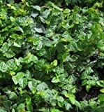 Classy Groundcovers - Ficus pumila (Creeping Fig, F. repens, Fig Vine, Fig Ivy, Climbing Fig, Creeping Rubber Plant) {24 Pots - 3 1/2 in.}