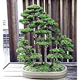 9GreenBox Sacred Japanese Cedar 35 Seeds - Cryptomeria japonica