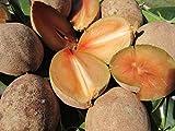 zapote fruit - 2 FEET Sapote Manilkara Zapota Sapodilla zapote Nispero Tropical Fruit Plant