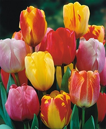 (SILKSART 10 Tulip Bulbs Perennial Bulbs for Garden Planting Beauty Flower--SHIPPING NOW!!!)