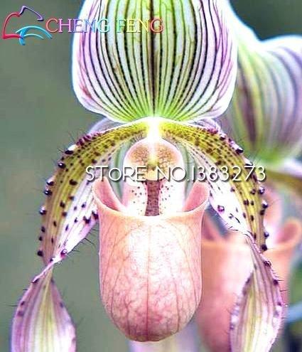 100 Exotischer Orchideensamen properties: purpur weltweit seltene Wasser Schmettlings Orchidee unbekannt