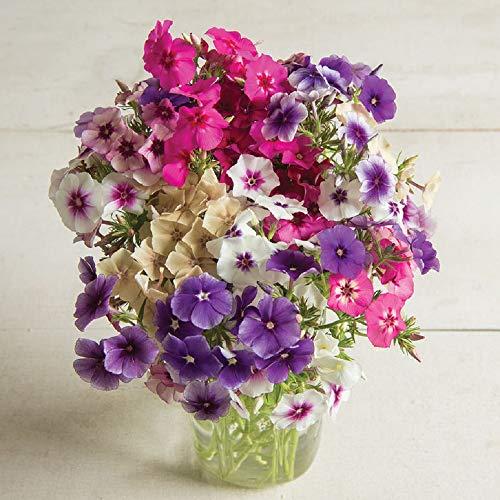 David's Garden Seeds Flower Phlox Art Shades Mix SL9302 (Multi) 100 Non-GMO, Open Pollinated Seeds