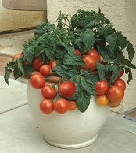 to Seeds - Very compact plants!!! Mmmm...!!!!(10 - Seeds) (Patio Hybrid Tomato)