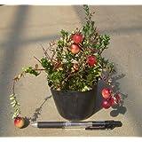 クランベリー (ポット植え) 《果樹苗》