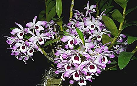 Kolkata Orchid Online Dendrobium Nobile Orchid Live Plant In Fern Block Exotic Orchid Flower 12 15 Inches Hight Flowering Guaranteed Amazon In Garden Outdoors
