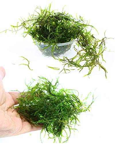 """Live Aquarium Plants JAVA Moss for Freshwater Fish Tank Decorations use Green Moss Create a Moss Wall or Moss Carpet and Moss Driftwood Decor - Soft and Comforting for Fish (3"""" cup x1)"""