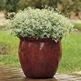 Alyf Market Glitz Euphorbia Seeds - First-Ever from Seed, The Ideal Filler for containers of All Types (10 Seeds)
