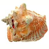 """Giant Conch Horn Shell 8""""-9"""" Pink Queen Conch Shell Horn by The Nature Company"""
