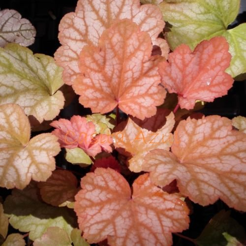 "heuchera HEUREKA SWEET PRINCESS rare Coral Bells 2.5"" pot ☆1 Live Potted Plant☆"