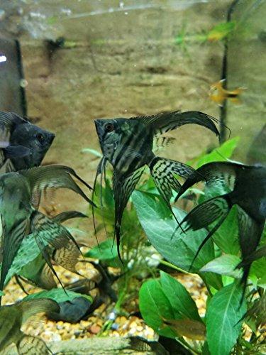 - WorldwideTropicals Live Freshwater Aquarium Fish - 2