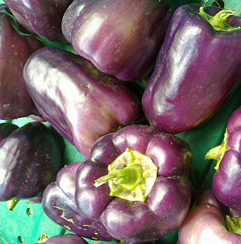 Unique Purple Beauty Bell Pepper 50 Seeds! Buy 2 and We Ship 3#28