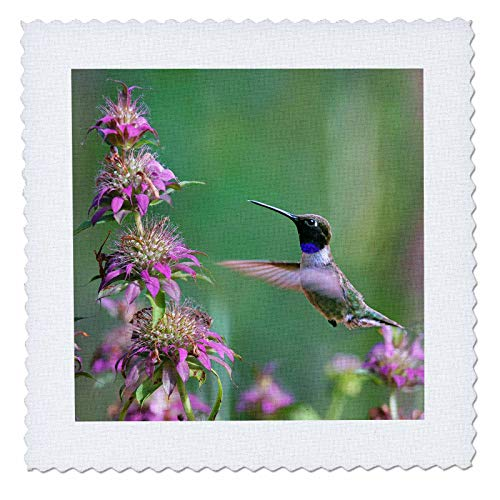 - 3dRose Danita Delimont - Hummingbirds - Black-chinned Hummingbird male at bee balm, Texas, USA.  - 20x20 inch quilt square (qs_315064_8)