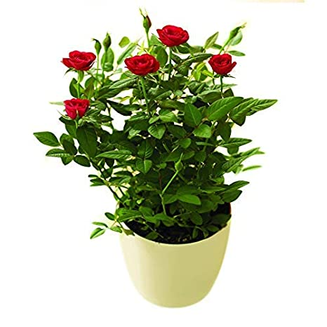 Red Potted Indoor Rose Bush Sent With Chocolates Perfect To Make Someones Day