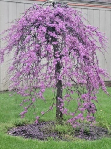 20 WEEPING COVEY LAVENDER TWIST REDBUD SEEDS - Cersis (Lavender Twist)