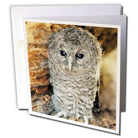- 3dRose Kike Calvo Animals - Tawny Owl, Strix aluco One month young owl Aragon Spain - 1 Greeting Card with envelope (gc_9903_5)