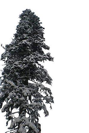 Weihnachtsbaum Samen.20 Samen Der Echten Nordmanntanne Abies Nordmanniana Beliebtester Weihnachtsbaum Frisches Saatgut