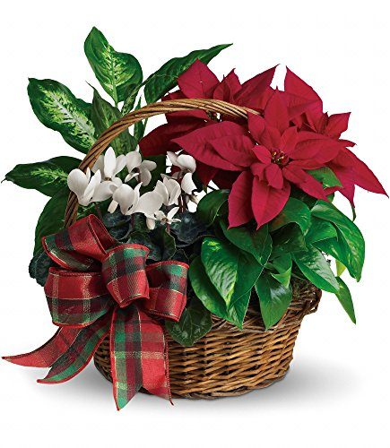 Plaza Flowers - Poinsettia Holiday Plant Basket – Deluxe