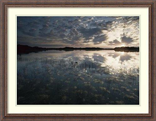 Framed Art Print 'American Alligator in Nine-mile Pond, Everglades National Park, Florida' by Tim (Nine Mile Pond)