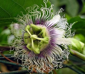 Passiflora edulis Golden giant - Passion Fruit - 10 seeds