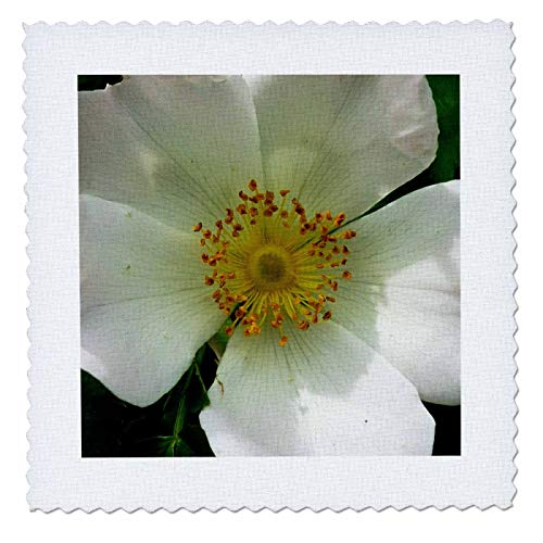 3dRose Russ Billington Photography - Image of Wild White Rose - 20x20 inch Quilt Square (qs_293802_8) ()