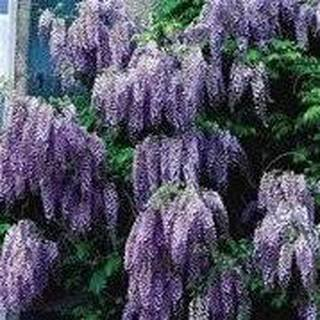 10 Seeds Chinese Wisteria (Wisteria sinensis) Flowering Tree Vine