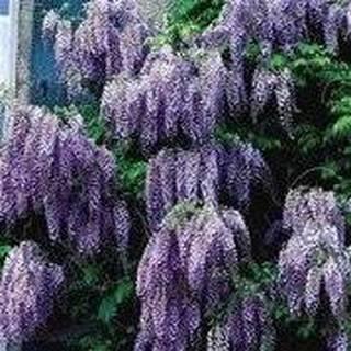 Wisteria Flowering Tree - 7