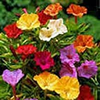 Four O'clock Marvel of Peru, 500 Seeds Organic, Beautiful Vivid Mulit Colored Bloom