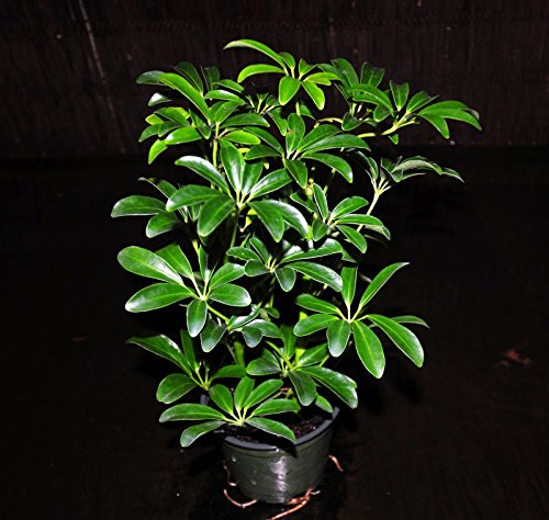 "~Hawaiian Umbrella Tree 4"" Pots Arboricola ScheffleraTropical Houseplant"