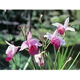 Hawaiian Tropical Bamboo Orchid Plant 2 Rooted Bulbs ~ Grow Hawaii by Kanoa Hawaii