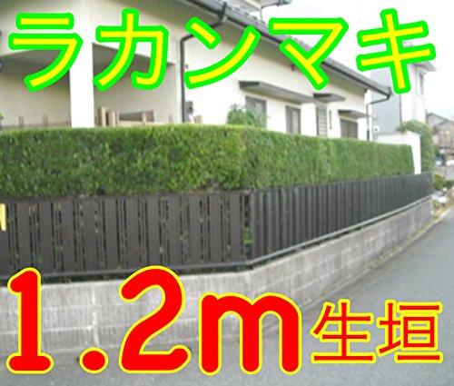 【ノーブランド品】ラカンマキ樹高1.2m前後根巻き【4本セット】 B00W4VXUCI