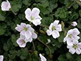 Erodium x 'Album' White Heron's Bill