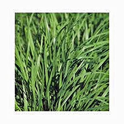 Chive Seeds, Herb, Heirloom, Organic, NON Gmo, 25+ Seeds, Great Fresh or Dried Herb