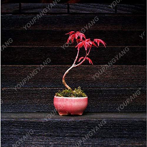 Casavidas 10pcs Red Bonsai Beautiful Tree Bonsai House s for DIY Home Gard ing Japanese Bonsai: -