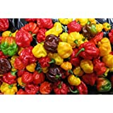Scotch Bonnet PEPPER Seeds-(Caribbean Mix) - RED,Yellow,and Chocolate !(100 Seeds)