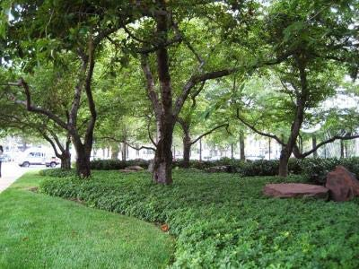 Classy Groundcovers - Pachysandra terminalis {50 Bare Root Plants} by Classy Groundcovers (Image #9)