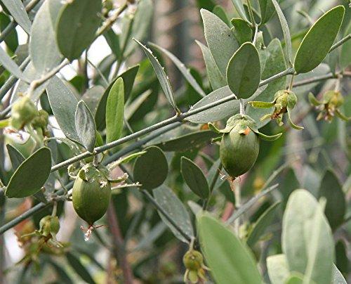 10 Seeds Jojoba, Pignut, Goat Nut, Deer Nut, Wild Hazel, Quinine Nut, Coffeeberry, (Simmondsia (Calif Leaf)