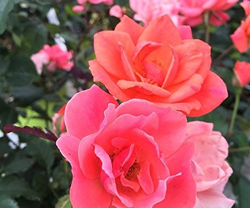 Coral Knockout Rose - Live Plant - Quart Pot
