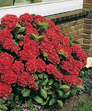 Spalding Plant Bulb Company Hydrangea Red Sensation Each