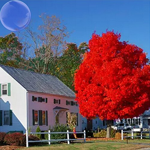 YoYoBoo DD 2016 Hot 2 Pack Maple Autumn Blaze Red Maple Tree