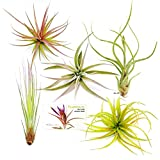 buy TDG Assorted Tillandsia Air Plants, Pack of 5, Large now, new 2019-2018 bestseller, review and Photo, best price $32.95