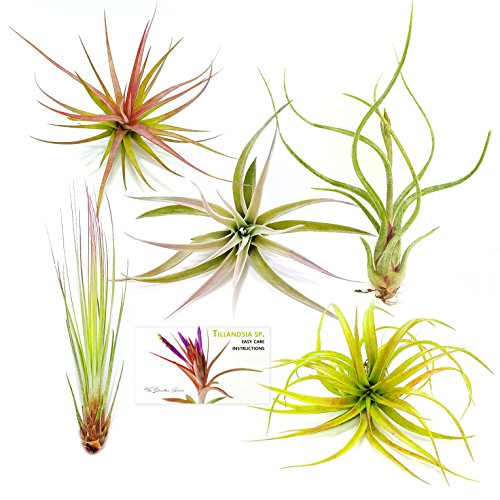 The Drunken Gnome AIR PLANTS - ASSORTED VARIETY PACK - 5 air purifying flowering tillandsia for terrarium, fairy garden starter kit, home office, indoor outdoor, corporate gift (5 Pack)