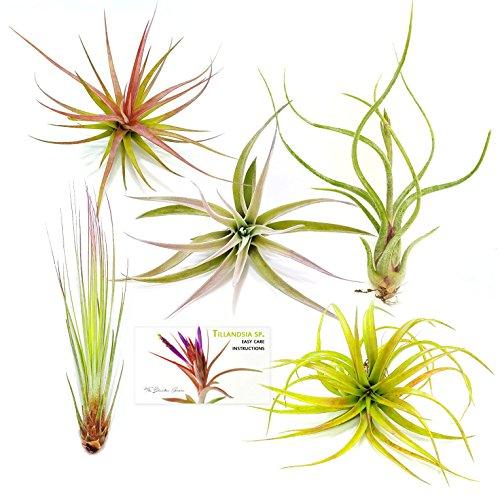 TDG Assorted Tillandsia Plants Large