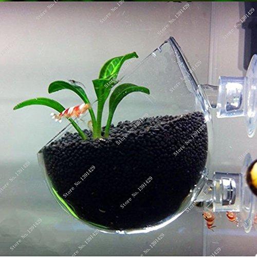 Brand New! Plant seed Glossostigma elatinoides similar Hemianthus callitrichoides aquarium fish tank easy plant