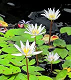 White Tropical Water Lily - Water Garden Live Pond Plant