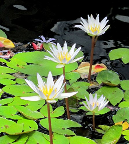 White Tropical Water Lily - Water Garden Live Pond Plant by Aquarium Plants Discounts