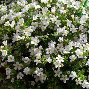 100pcs/lots Wholesale SNOWTOPIA WHITE IMPROVED BACOPA SEEDS