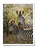 Mother and Baby Zebra - Wildlife Photograph Animal Picture Home Decor Wall Nature Print - Variety of Size Available