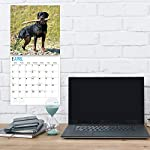 2020 Rottweilers Wall Calendar by Bright Day, 16 Month 12 x 12 Inch, Cute Dogs Puppy Animals Rottie's Canine 8