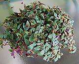 Teddy Bear Vine - Cyanotis Kewensis Teddchysar Plant Wandering Jew Tradescantia